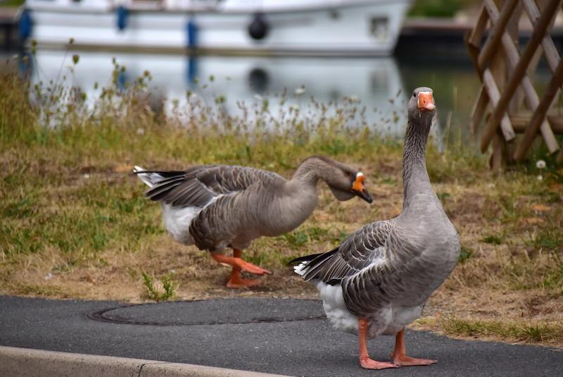 Couple d'oies en bord d'eau