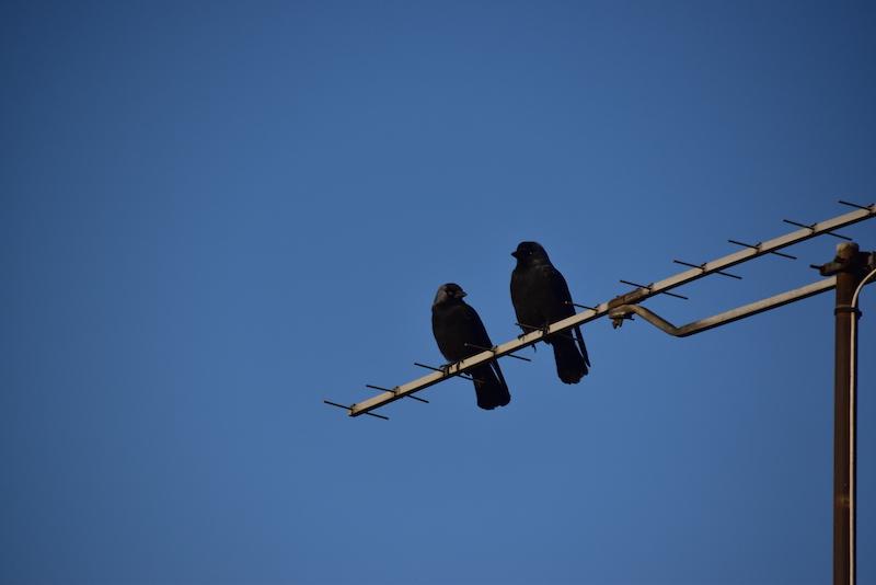 Couple de merles perchés sur une antenne en ville.