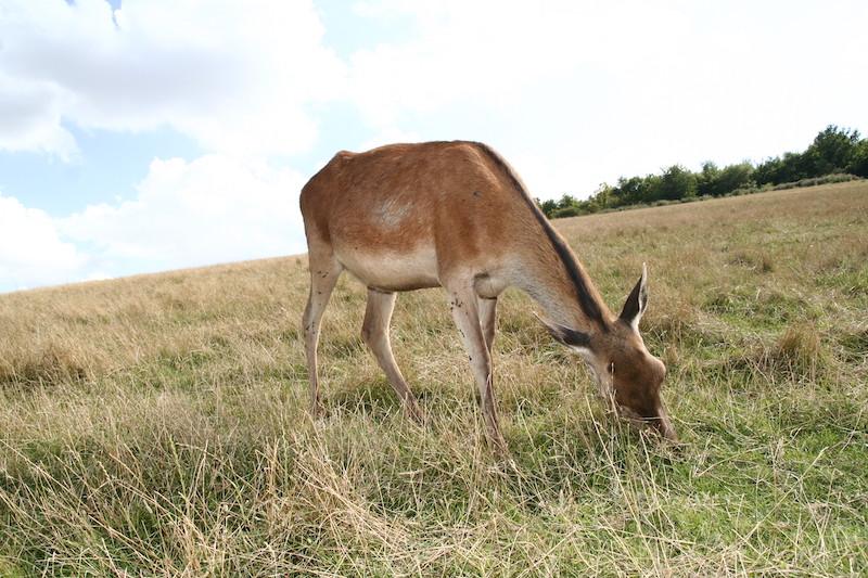 Biche dans un champ dans l'Aisne