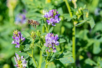 abeilles sur luzerne