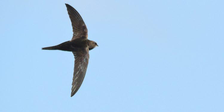 martinet noir oiseau picardie