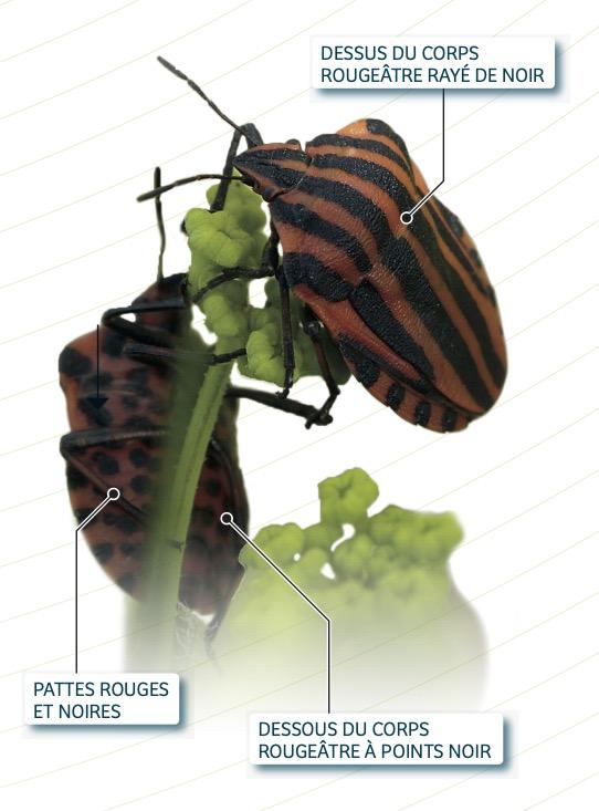 schema punaise arlequin