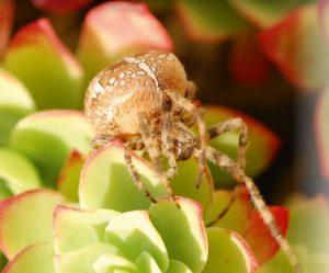 araignee Epeire diadème femelle
