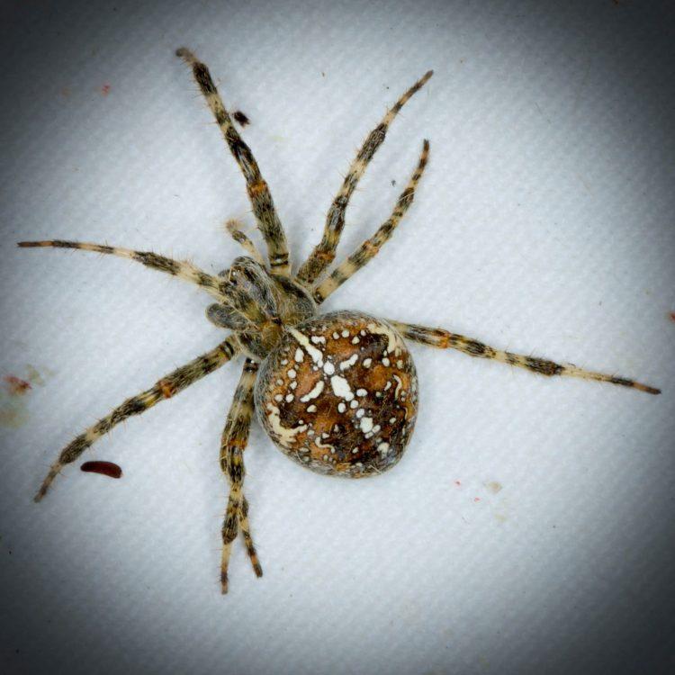 araignée epeire diademe